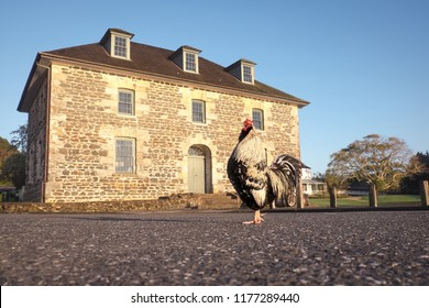 Morning at the Stone Store, Kororipo Pa, Kerikeri: rooster is crowing at daybreak outside New Zealand's oldest historic stone building. In Bay of Islands, Far North District, Northland, North Island.