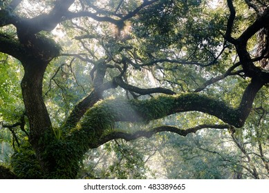 The morning sun filtering through the canopy on a live oak tree (Quercus virginiana)  with it's limbs covered in