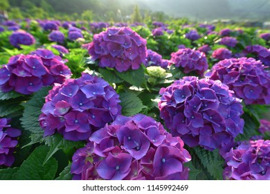 The morning sun illuminated the blooming hydrangea in the plantation.
