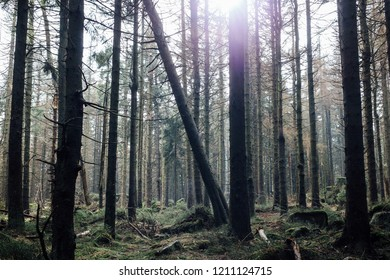 Morning sun in the old spruce forest