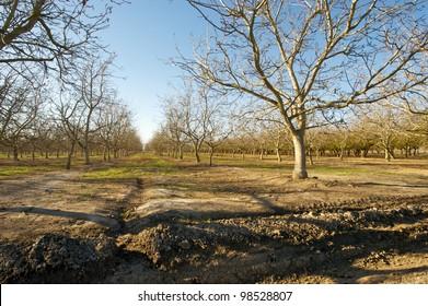 Morning sun over a dormant walnut orchard