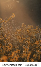 Morning sun shines on a prairie of autumn sunflowers in the North American Midwest. Selective focus. Golden hour in a sunflower field. Prairie of wildflowers.