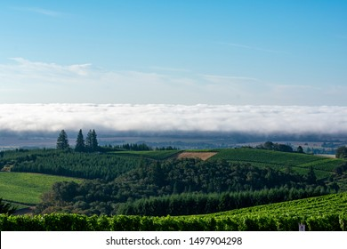 Morning sun shines on a summer vineyard in Oregon, looking down a hill at more vineyard, and a strip of fog bank on the horizon.
