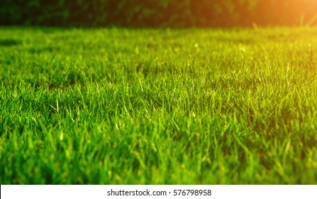 The morning sun shining on a green grass natural background texture, Close-up on a green lawn.