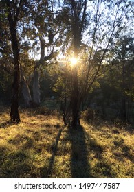 The morning sun shining through a grove of native gum trees in the bush creating a golden silhouette of the dark trunks and long grass meadow while camping in the alpine national park, Australia