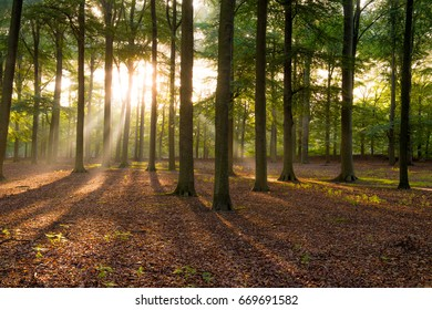 Morning sunbeams shining through the beech tree forest