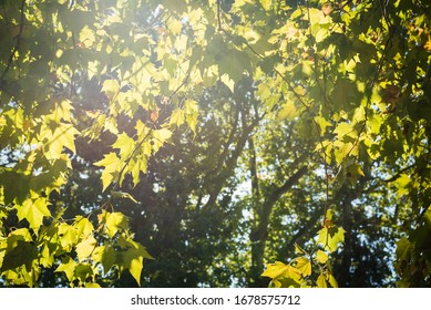 Morning sunbeams through green tree leaves. Natural background. Selective focus. Shallow DOF