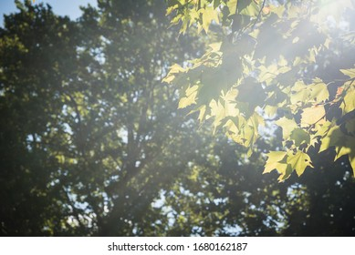 Morning sunbeams through green tree leaves. Natural background. Selective focus.