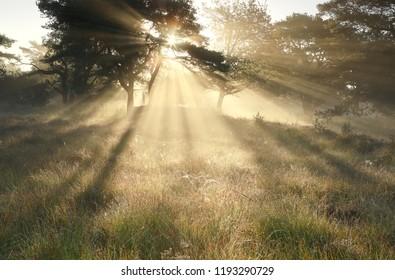morning sunbeams through trees in dense mist