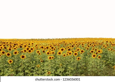 Morning Sunflowers field in Thailand