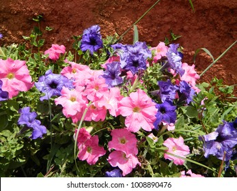 In the morning, sunkissed pansy in pink and purple color.
