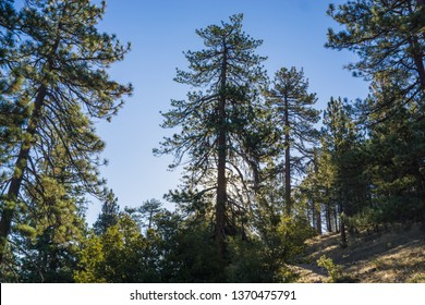 Morning sunlight filters through pine trees on an early morning in California