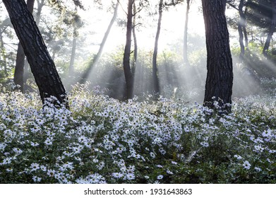 Morning sunlight over white Siberian chrysanthemum flowers and pine trees at Gujeolcho Park near Jeongeup-si, South Korea