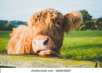 Morning sunrise Baby Highland Cows UK