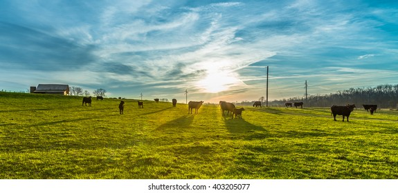 Morning Sunrise with Cows