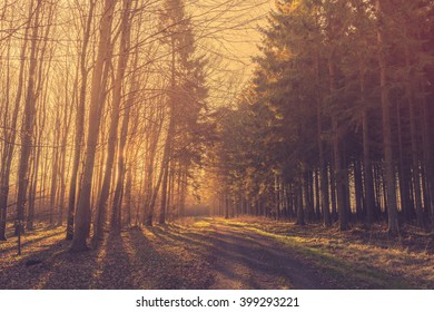 Morning sunrise in a forest with pine trees by the road