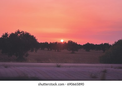 Morning sunrise in olives trees compagne