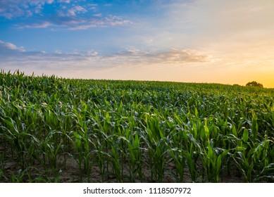 morning sunrise over the corn field