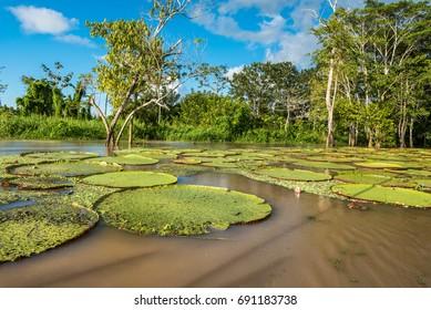 Morning sunshine cast on giant lilly pads on the amazon rio yarapa