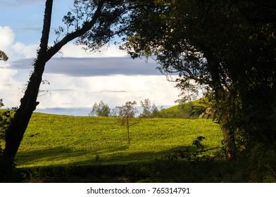 Morning at tea plantation