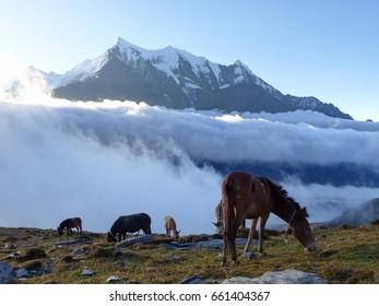 Morning under Nilgiri mountain - horses in pasture - Annapurna Circuit Trek in Nepal