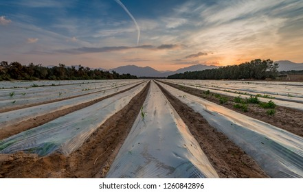 Morning view on the field with cultured  seeds and young plants of corn covered by plastic film against bird. Advanced agriculture in desert areas of the Middle East