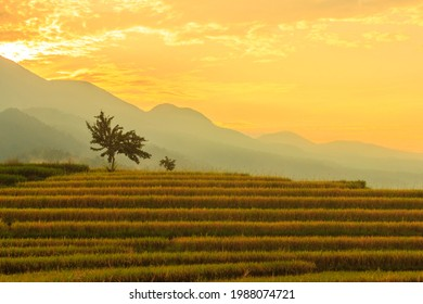 morning view in the rice field area on the mountain with yellow rice at a beautiful sunrise