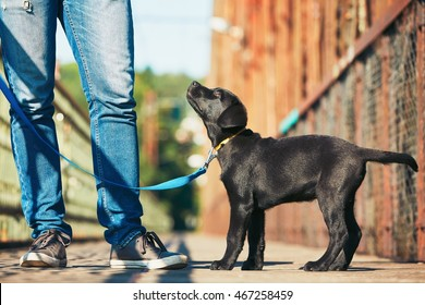 Morning walk with dog (black labrador retriever). Young man is training his puppy walking on the leash.