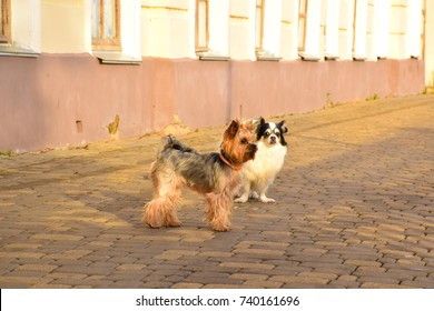Morning walk of dogs through the streets of the city. Portrait of a Yorkshire terrier and a papillion. The road from the pavers.