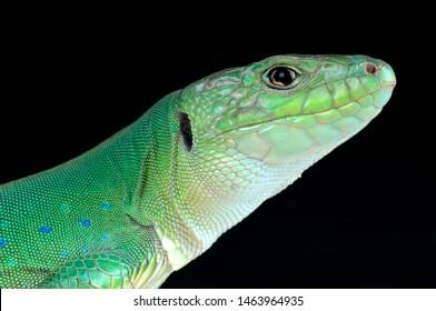 Moroccan eyed lizard (Timon tangitanus)