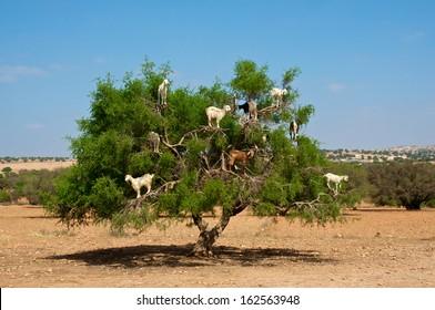 Moroccan goats in an Argan tree (Argania spinosa) eating Argan nuts