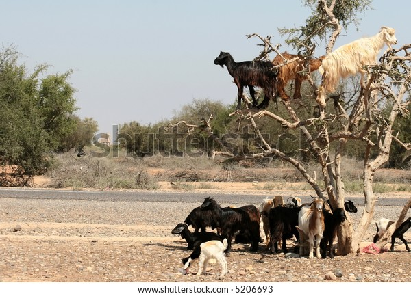 Moroccan goats on the tree