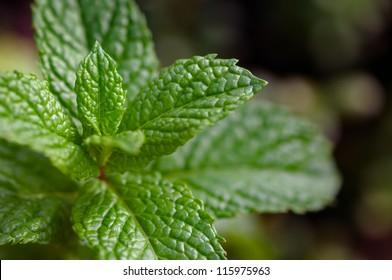Moroccan Mint plant