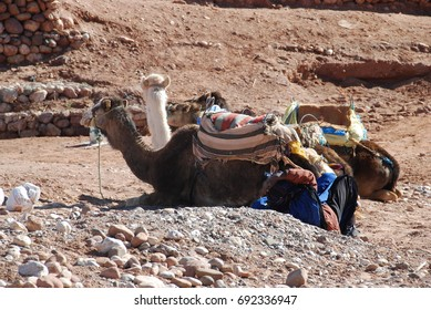 Morocco, the camel is the best transport in the desert (the ship)