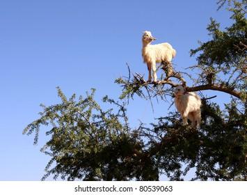 Morocco Goat feeding in argan tree