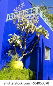 Morocco, Marrakesh - February 6, 2017 Jardin Majorelle. Botanical and artist's landscape garden created by the french painter Jacques Majorelle. Kalanchoe beharensis plant