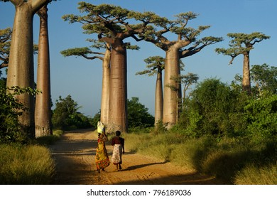 MORONDAVA, MADAGASCAR, APRIL 13, 2010. Two women walk home from market in late afternoon through the Avenue des Baobabs.