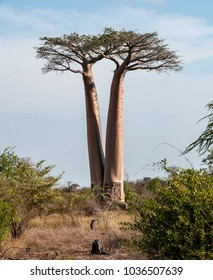 Morondava, Madagascar - nov 2016 : near Morondava, the original V shape of two twin baobabs that seem to come from a single seed