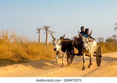 MORONDAVA, MADAGASCAR - SEPTEMBER 30, 2017: Unidentified Madagascar men rides the cow / Zebu in Baobabs Avenue.