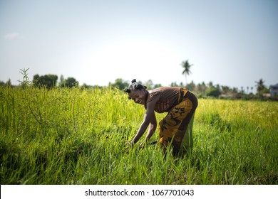 MORONDAVA-MADAGASCAR-OCTOBER-7-2017:Madagascar, Africa,Woman worker harvesting rice field in the morning scene at Morondava town