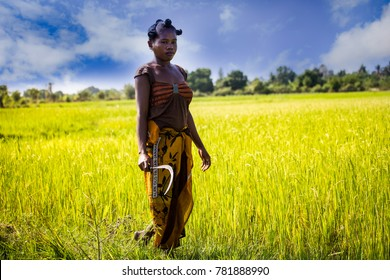MORONDAVA-MADAGASCAR-OCTOBER-7-2017:Madagascar, Africa,Woman worker harvesting rice field in the morning at Morondava town.