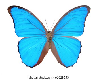 Morpho  butterfly (Morpho didius), a blue butterfly from South America on white background.