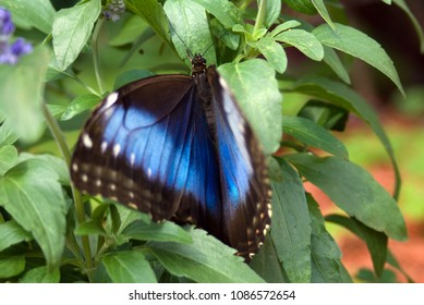 Morpho Butterfly Resting in Leaves