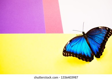 Morpho butterfly sitting on the colored background