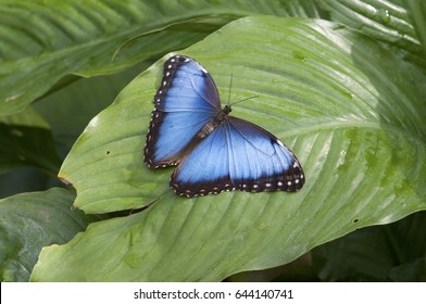A Morpho helenor butterfly on a green leaf. Also known as common blue morpho.Costa Rica