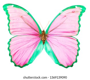 Morpho is a large pink and green butterfly endemic to Peru. Isolated on white