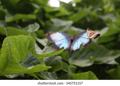 Morpho Menelaus butterfly on the leaf