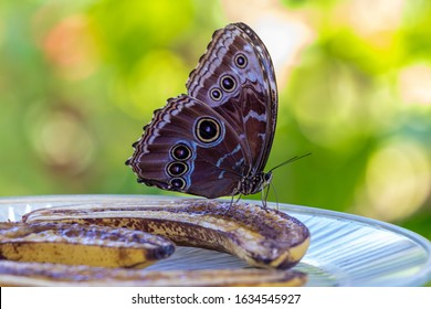Morpho Peleides blue morpho, common morpho or the emperor is an iridescent tropical butterfly found in Mexico, Central America, northern South America, Paraguay and Trinidad.