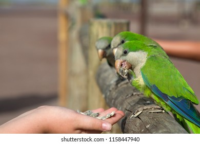 Morro Jable, Fuerteventura, Canary Islands July 6th 2018: A group of well known feral monk parakeets, a now well established introduced or escaped species in the area, being hand fed by tourists.