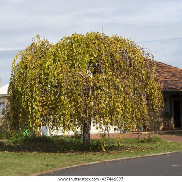 Morus Alba Pendula Weeping Mulberry Tree Stock Photo Edit Now